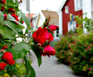 Gullholmen blommar - Foto: Carita Filipsson