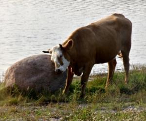 Djur på Hermanö, ko vid sten - Foto: Mats Olsson