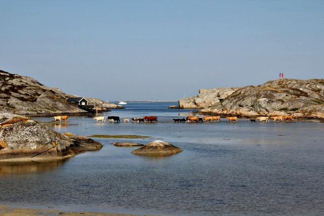Djur på Hermanö - korna badar - Foto: Mats Olsson